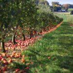 Ekološko pridelano sadje, prodaja ekološkega sadja, ekološko pridelana jabolka - viktor pavlič 003