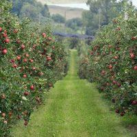 Ekološko pridelano sadje, prodaja ekološkega sadja, ekološko pridelana jabolka - viktor pavlič 004