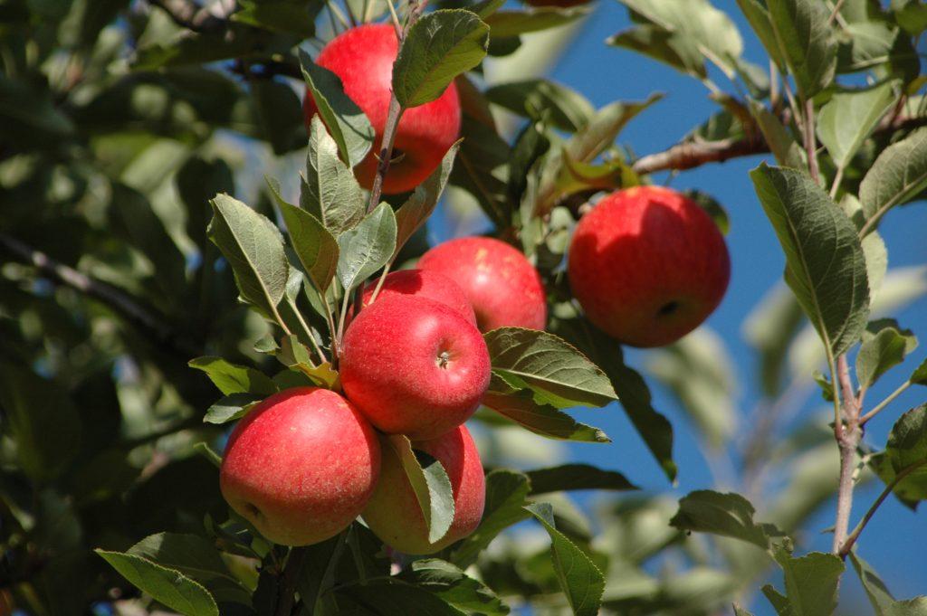 Ekološko pridelano sadje, prodaja ekološkega sadja, ekološko pridelana jabolka - viktor pavlič 005