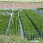 Ugodne ciprese, Thuja Smaragd, ciprese v loncih, tisa živa meja, ciprese za živo mejo15130_1477407044_26_15130