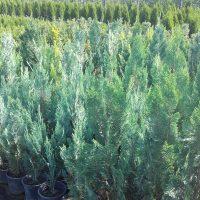 Ugodne ciprese, thuja smaragd, ciprese v loncih, tisa živa meja, ciprese za živo mejo - drevesnica 002