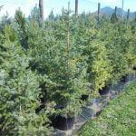 Ugodne ciprese, Thuja Smaragd, ciprese v loncih, tisa živa meja, ciprese za živo mejo20964_1479283822_10_20964