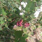 Izdelki iz aronije, sadike aronije, aronija sadež - Aronix 09