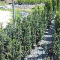 Ugodne ciprese, Thuja Smaragd, ciprese v loncih, tisa živa meja, ciprese za živo mejo20160815_154618tise