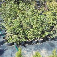 Ugodne ciprese, Thuja Smaragd, ciprese v loncih, tisa živa meja, ciprese za živo mejo20160815_155619gaber