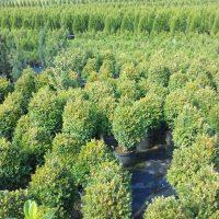 Ugodne ciprese, Thuja Smaragd, ciprese v loncih, tisa živa meja, ciprese za živo mejo20160819 pušpan