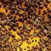 bližina čebel apiteka karnika