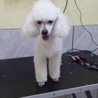 Pasji salon, striženje psov, Jesenice - Švrk 002