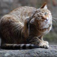 Cepljenje mačk - 1524302890