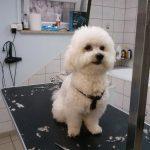 Striženje psov, Maribor - TAČKA salon za nego malih živali 029