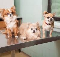 Cepljenje psov - 1524302890