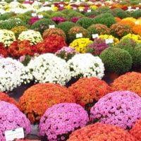 Vrtnarstvo Čolig, okrasne rastline, balkonsko cvetje, trajnice, grmovnice, Prekmurje 81802