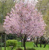 Vrtnarstvo Čolig, okrasne rastline, balkonsko cvetje, trajnice, grmovnice, Prekmurje Orname3