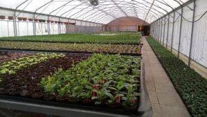 Vrtnarstvo Čolig, okrasne rastline, balkonsko cvetje, trajnice, grmovnice, Prekmurje 203
