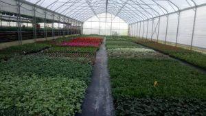 Vrtnarstvo Čolig, okrasne rastline, balkonsko cvetje, trajnice, grmovnice, Prekmurje 204