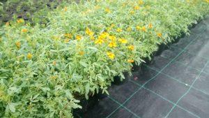 Vrtnarstvo Čolig, okrasne rastline, balkonsko cvetje, trajnice, grmovnice, Prekmurje 206