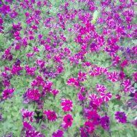 Vrtnarstvo Čolig, okrasne rastline, balkonsko cvetje, trajnice, grmovnice, Prekmurje 207