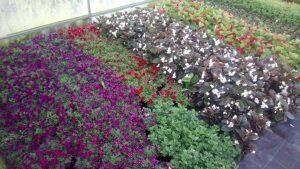 Vrtnarstvo Čolig, okrasne rastline, balkonsko cvetje, trajnice, grmovnice, Prekmurje 208