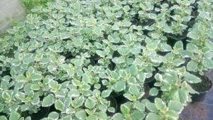 Vrtnarstvo Čolig, okrasne rastline, balkonsko cvetje, trajnice, grmovnice, Prekmurje 209