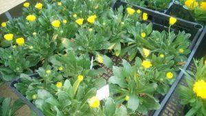 Vrtnarstvo Čolig, okrasne rastline, balkonsko cvetje, trajnice, grmovnice, Prekmurje 210