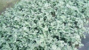 Vrtnarstvo Čolig, okrasne rastline, balkonsko cvetje, trajnice, grmovnice, Prekmurje 211