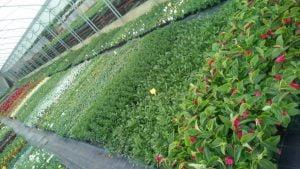 Vrtnarstvo Čolig, okrasne rastline, balkonsko cvetje, trajnice, grmovnice, Prekmurje 212