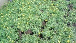 Vrtnarstvo Čolig, okrasne rastline, balkonsko cvetje, trajnice, grmovnice, Prekmurje 214