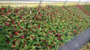 Vrtnarstvo Čolig, okrasne rastline, balkonsko cvetje, trajnice, grmovnice, Prekmurje 216