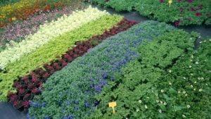 Vrtnarstvo Čolig, okrasne rastline, balkonsko cvetje, trajnice, grmovnice, Prekmurje 217