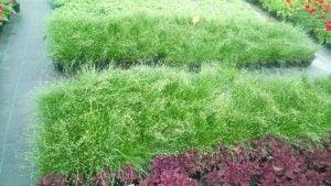 Vrtnarstvo Čolig, okrasne rastline, balkonsko cvetje, trajnice, grmovnice, Prekmurje 218