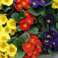 Vrtnarstvo Čolig, okrasne rastline, balkonsko cvetje, trajnice, grmovnice, Prekmurje enoletnice