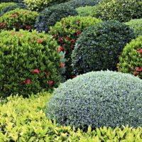 Vrtnarstvo Čolig, okrasne rastline, balkonsko cvetje, trajnice, grmovnice, Prekmurje 0008