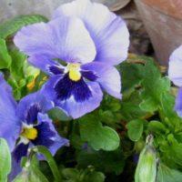 Vrtnarstvo Čolig, okrasne rastline, balkonsko cvetje, trajnice, grmovnice, Prekmurje 0007