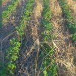 M. REBERNIK d.o.o. - Konzervirajoča obdelava tal, Kompostirna obdelava tal, Ohranitvena obdelava tal 056